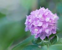 Цветки гортензии в стиле нежности и нерезкости - изображении запаса Стоковые Изображения RF