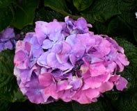 Цветки гортензии зацветая весна стоковое изображение