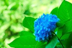Цветки гортензии Стоковые Фотографии RF