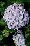Цветки гортензии Стоковое Изображение RF