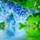 Цветки гортензии Стоковые Изображения