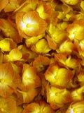 Цветки гортензии Стоковое фото RF