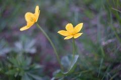 Цветки горы желтые, неимоверная зеленая сторона Стоковое фото RF