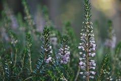 Цветки горы Стоковая Фотография