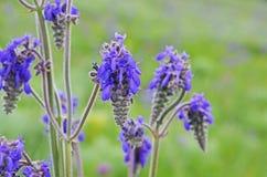 Цветки голубого шалфея Стоковые Фотографии RF