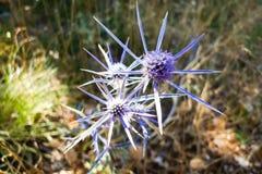 Цветки голубого thistle в солнечном свете Остров Cres, Хорватия Стоковое Изображение
