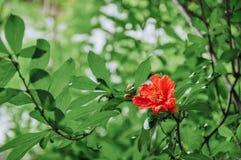 Цветки гранатового дерева в июне стоковые фото