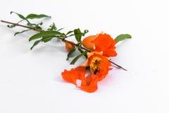 Цветки гранатового дерева на белой предпосылке Стоковое Изображение RF
