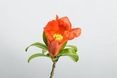 Цветки гранатового дерева Стоковая Фотография RF