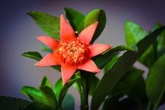 Цветки гранатового дерева Стоковое фото RF