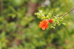 Цветки гранатового дерева Стоковое Фото
