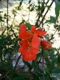 Цветки гранатового дерева стоковые фото