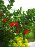 Цветки гранатового дерева стоковое изображение rf