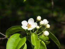Цветки грушевого дерев дерева, Pyrus communis, конца-вверх на предпосылке bokeh, селективном фокусе, отмелом DOF Стоковое фото RF
