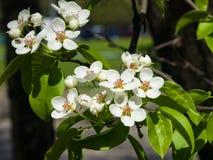 Цветки грушевого дерев дерева, Pyrus communis, конца-вверх на предпосылке bokeh, селективном фокусе, отмелом DOF Стоковое Изображение