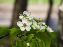 Цветки грушевого дерев дерева, Pyrus communis, конца-вверх на предпосылке bokeh, селективном фокусе, отмелом DOF Стоковые Фото