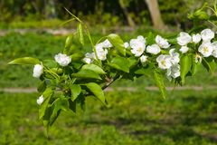 Цветки грушевого дерев дерева, Pyrus communis, конца-вверх на предпосылке bokeh, селективном фокусе, отмелом DOF Стоковые Фотографии RF