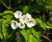 Цветки грушевого дерев дерева, Pyrus communis, конца-вверх на предпосылке bokeh, селективном фокусе, отмелом DOF Стоковые Изображения