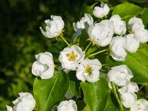 Цветки грушевого дерев дерева, Pyrus communis, конца-вверх на предпосылке bokeh, селективном фокусе, отмелом DOF Стоковая Фотография RF