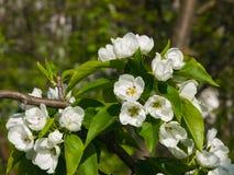 Цветки грушевого дерев дерева, Pyrus communis, конца-вверх на предпосылке bokeh, селективном фокусе, отмелом DOF Стоковые Изображения RF
