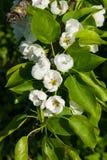 Цветки грушевого дерев дерева, Pyrus communis, конца-вверх на предпосылке bokeh, селективном фокусе, отмелом DOF Стоковое Изображение RF