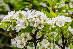 Цветки груши весны на дереве Стоковая Фотография RF