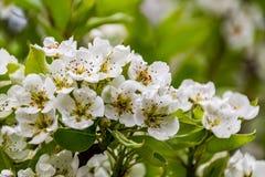 Цветки груши весны на дереве Стоковое Фото