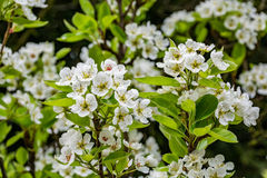 Цветки груши весны на дереве Стоковые Фотографии RF