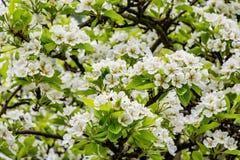 Цветки груши весны на дереве Стоковые Фото