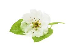Цветки груши изолированные на белизне Стоковая Фотография