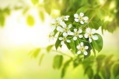 Цветки груши Стоковое Фото