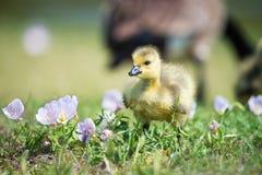 Цветки гусенка гусыни Канады весной Стоковая Фотография RF
