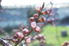 Цветки дерева абрикоса Цветки весны белые на ветви дерева принадлежностей Стоковые Фотографии RF