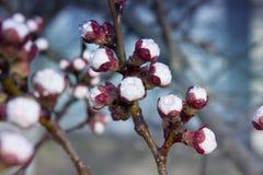 Цветки дерева абрикоса Цветки весны белые на ветви дерева принадлежностей Стоковые Изображения RF