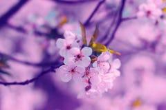 Цветки дерева абрикоса Стоковое Изображение RF