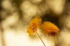 Цветки дерева дождя в теплых тонах и запачканной предпосылке стоковые фото