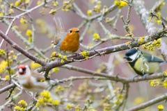 Цветки дерева Робина стоковая фотография