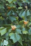 Цветки дерева тюльпана Стоковые Фото