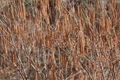 Цветки дерева фундука весной, цветут дерево грецкого ореха весной, стоковые фотографии rf