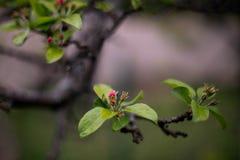 Цветки дождя яблока в саде стоковая фотография rf