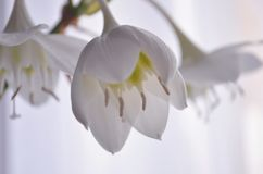 Цветки дома белые amazonica eucharis стоковая фотография
