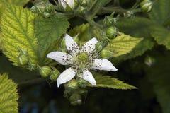 Цветки ежевики Стоковая Фотография
