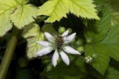Цветки ежевики Стоковые Изображения RF