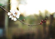Цветки дерева абрикоса Стоковые Фото