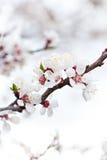 Цветки дерева абрикоса Стоковые Изображения