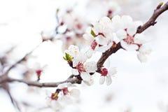 Цветки дерева абрикоса Стоковые Изображения RF