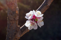 Цветки дерева абрикоса Стоковая Фотография RF