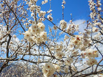 Цветки дерева абрикоса Стоковые Фотографии RF
