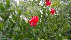 Цветки дерева гранатового дерева Стоковые Изображения