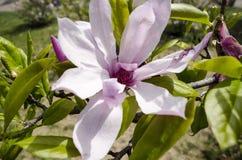 Цветки дерева магнолии Стоковые Изображения